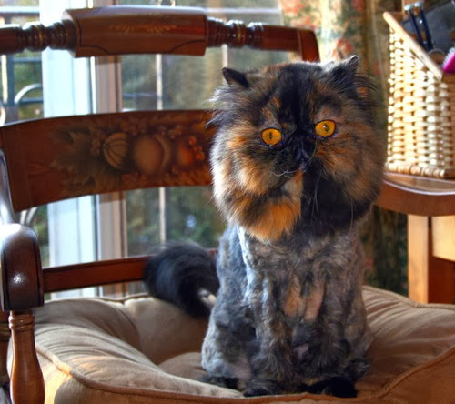 Lion_cut_tortoiseshell_Persian_m