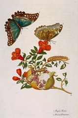 Merian-Maria-Sibylla-Flower-and-butterflies-Sun