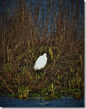 little egret Jan 2014