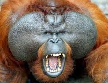 Amazing Pictures of Animals, Photo, Nature, Incredibel, Funny, Zoo, Bornean orangutan,Pongo pygmaeus, Primates, Alex (2)