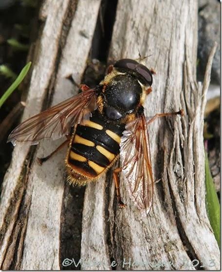 24-Hoverfly-Sericomyia-silentis