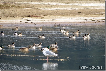 Lots of Pintails