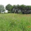 gevlekte orchissen in een hooiland van de Venning.JPG