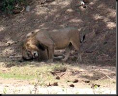 October 24, 2012 lion nuzzel 2