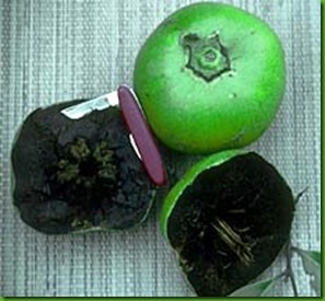 Black Sapote small
