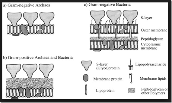 S layer glycoprotein