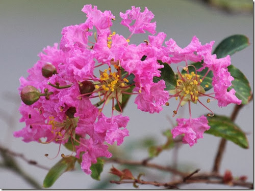 lagerstroemia indica flower