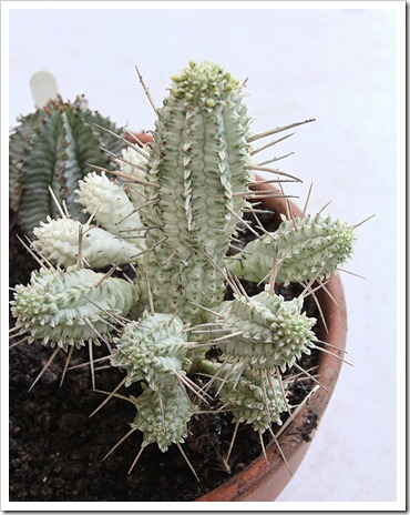 120226_Euphorbia-horrida_mammillaris_makallensis_10