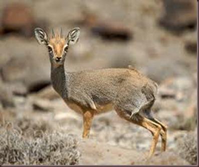 Amazing Pictures of Animals photo Nature, exotic, funny, incredibel Zoo, Dik-dik, antelope. Alex (5)