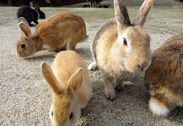 okunoshima rabbit island in japan