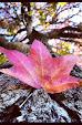 liiquidambar-styraciflua-leaf.jpg