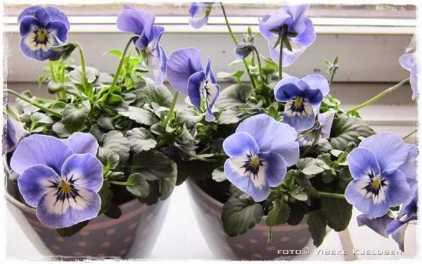 violets_29.03.15