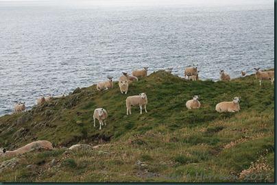 40-sheep