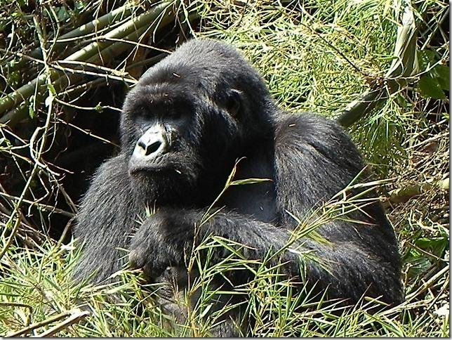 Rwanda_Gorillas (4)