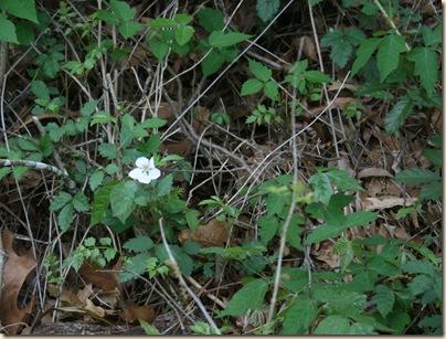 dewberry in poison ivy