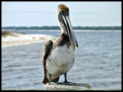 Nature - Pelican on Fishing Pier
