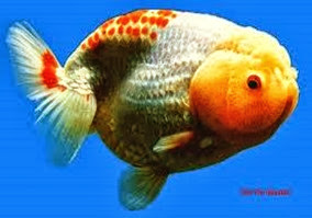 Amazing Pictures of Animals, Photo, Nature, Incredibel, Funny, Zoo, Ranchu, Goldfish, Alex (18)
