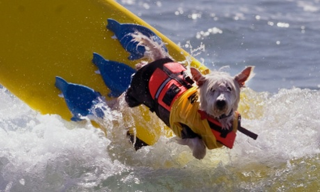 A competitor escapes the fierce temperatures on land during the Surf City Dog Surf competition in Huntington Beach, California, on Sunday, 5 October 2014. Photo: Ana Venegas / AP