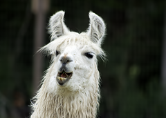 Llama Exotic Game Farm Spring