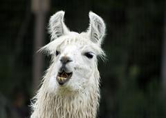 Llama Exotic Game Farm Spring