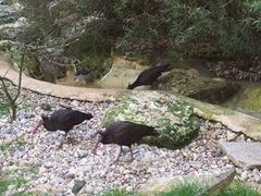 2011.09.23-034 ibis chauves