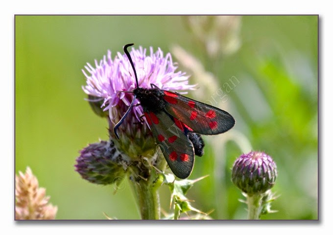 Day Fliers 9  Six-spot Burnet