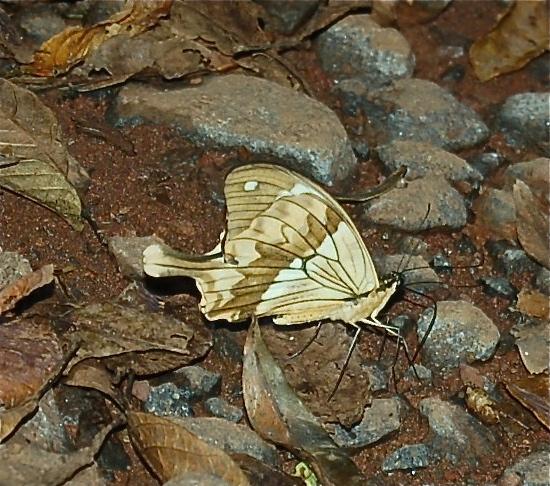 Papilio dardanus meriones C. & R. FELDER, 1865, mâle. Forêt de la Montagne d'Ambre (500 m), au sud d'Antsiranana, 30 janvier 2011. Photo : T. Laugier