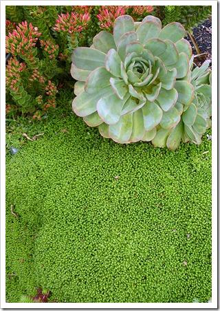Delosperma-nubigenum-(groundcover)