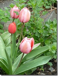 heather's tulips