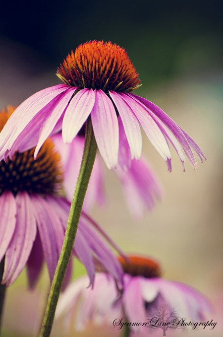 Coneflower-wSycamoreLane Photography