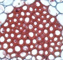 jaringan meristem pada tumbuhan