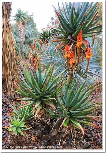 140208_RBG_Aloe-ferox-x-arborescens_003