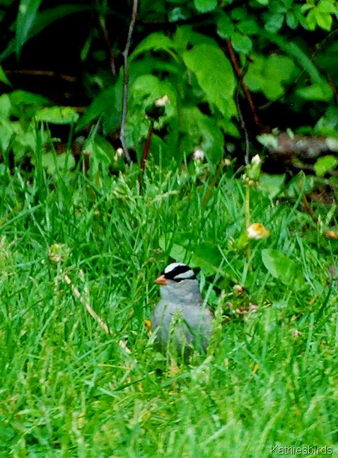 13. white-crowned sparrow-kab