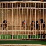 Shanghai - Pets market - rang d'oiseaux colorés