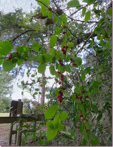 berriesIMG_8542