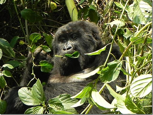 Rwanda_Gorillas (9)