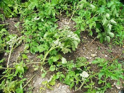 茎が倒れてるジャガイモ