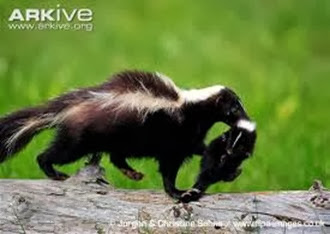 Amazing Pictures of Animals, Photo, Nature, Incredibel, Funny, Zoo, Skunks, Polecats, Mammals, Alex (17)