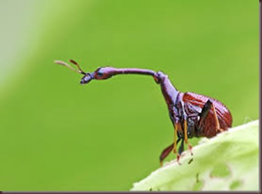 Amazing Pictures of Animals, photo, Nature, exotic, funny, incredibel, Zoo, Giraffe weevil, Insecta, Alex (21)