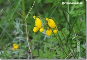 Topa topa (Calceolaria biflora)