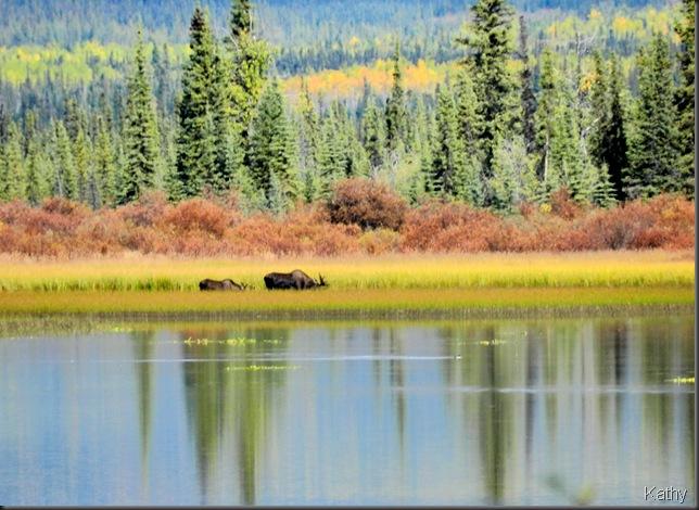Moose at Gravel Lake