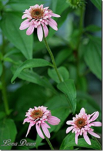 Echinacea_Double