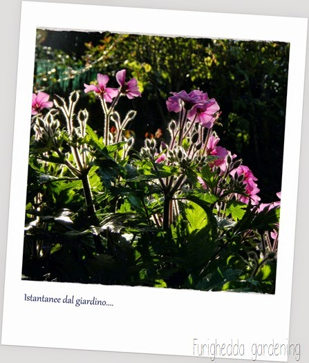 Geranium maderense-001