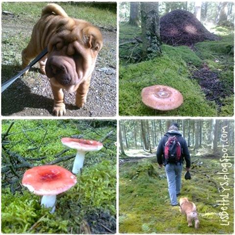 Svampetur i hundeskoven