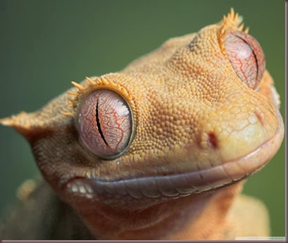 Amazing Animal Pictures crested geckos (13)