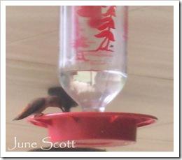 Rufus_Hummingbird