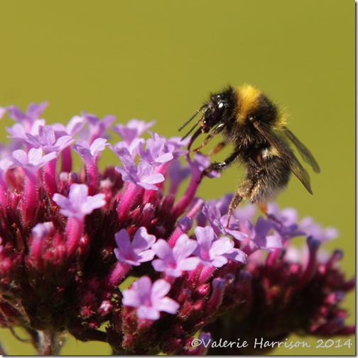 White-tailed-Bumblebee-male