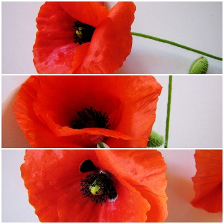 poppies_papaveri_vannalisascafaria_2