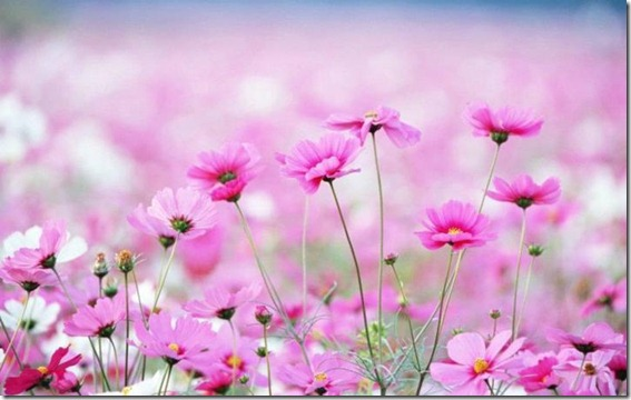 flores-facebook-tumblr-rosas-las flores-fotos de flores-740