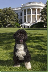 first-dog-bo-obama-official-white-house-portrait-500x750